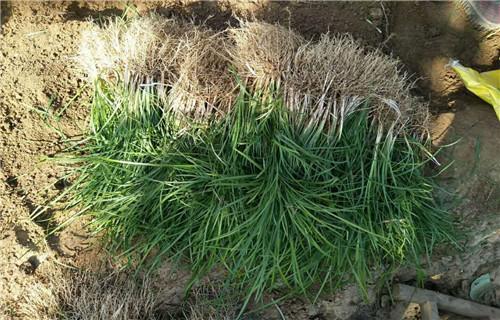 新疆高品质十一草花多少钱一棵