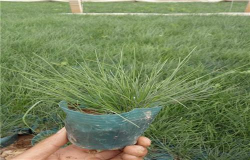 吉林高品质芦苇量大价低