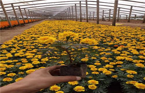 宜宾高品质再力花育苗基地