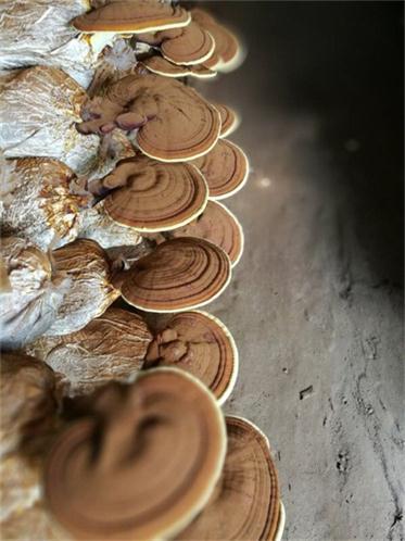 湖南灵芝破壁孢子粉厂家