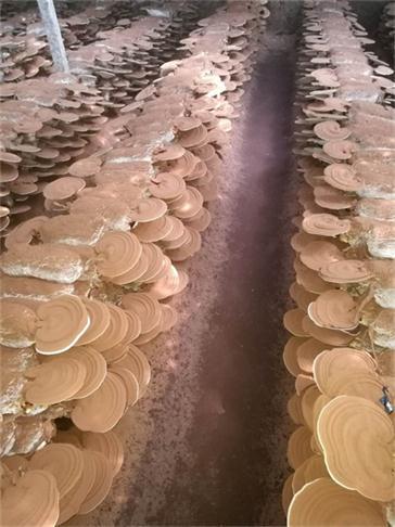 河南破壁灵芝孢子粉厂家